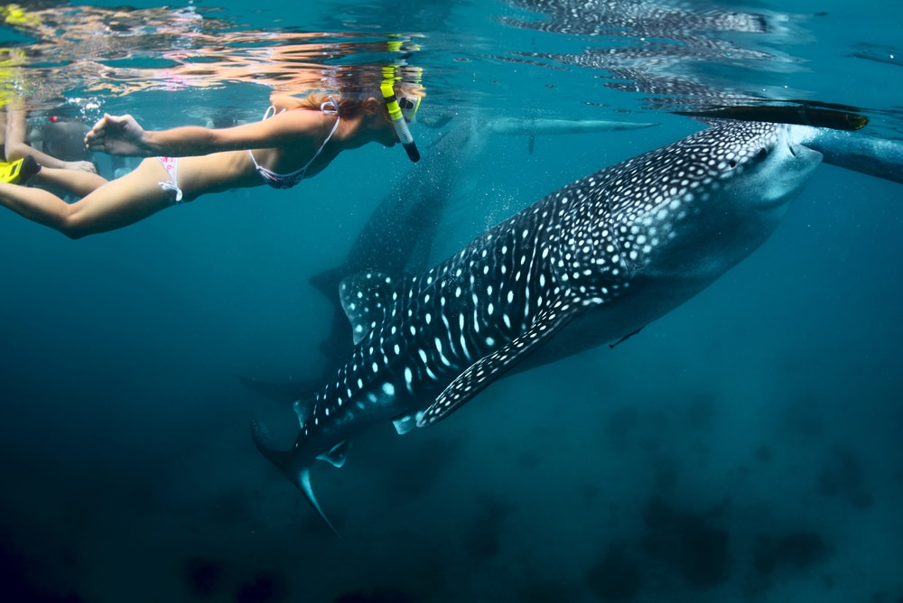 snorkeling-with-the-whale-sharks